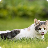 Domestic Shorthair Cat for adoption in Owatonna, Minnesota - Lacie