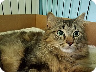 Domestic Longhair Cat for adoption in Garden City, Michigan - Momma Heather
