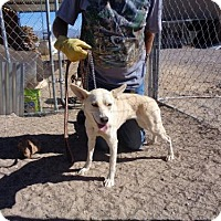 Adopt A Pet :: Lily - Golden Valley, AZ