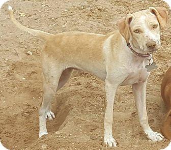 Australian Shepherd/Shepherd (Unknown Type) Mix Puppy for adoption in Las Cruces, New Mexico - Addie