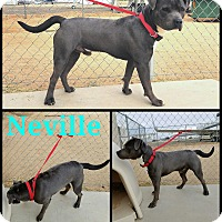 Adopt A Pet :: Neville - California City, CA