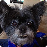 Papillon/Terrier (Unknown Type, Small) Mix Dog for adoption in New York, New York - Lucky! *FOSTER NEEDED!*