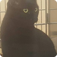 Bombay Cat for adoption in Griffin, Georgia - Riley