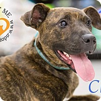 Boxer Mix Dog for adoption in Newport, Kentucky - Cher