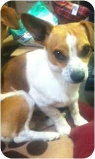 Dachshund/Chihuahua Mix Dog for adoption in Oceanside, California - Ferbie