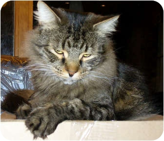 Domestic Mediumhair Cat for adoption in Alexandria, Virginia - Teddy Bear