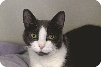 Domestic Shorthair Cat for adoption in Chicago, Illinois - Julie