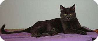 Russian Blue Cat for adoption in Port Republic, Maryland - Belle
