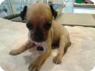 Miniature Pinscher/Pug Mix Puppy for adoption in Glendale, Arizona - Gina