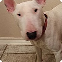 Adopt A Pet :: Billy - Sachse, TX