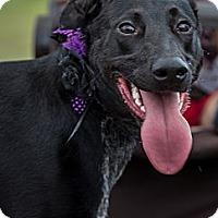 Adopt A Pet :: Sasha - Pflugerville, TX
