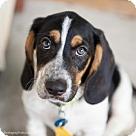 Adopt A Pet :: 'Beatle' Puppy: Paul (Has application)