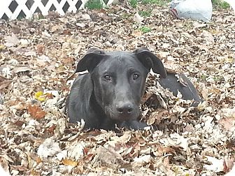 Labrador Retriever Mix Dog for adoption in Columbus, Indiana - Sophie