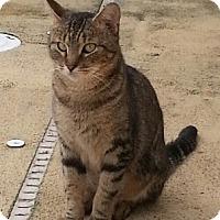 Domestic Shorthair Cat for adoption in Fort Pierce, Florida - Sailor
