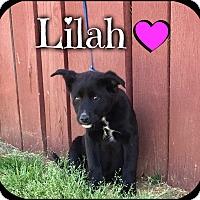 Adopt A Pet :: Lilah (Pom-dc) - Allentown, PA