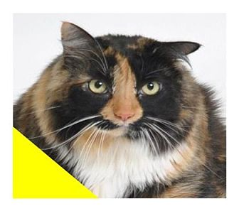 Domestic Longhair Cat for adoption in Roseville, California - Paisley