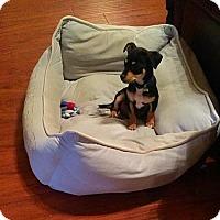 Adopt A Pet :: Chalupa - McKinney, TX