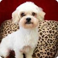 Adopt A Pet :: Singer Cartwright - Houston, TX