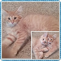 Domestic Longhair Kitten for adoption in Cedar Springs, Michigan - Woody