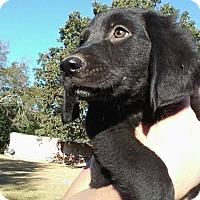 Rottweiler/Labrador Retriever Mix Puppy for adoption in Matawan, New Jersey - Zoey