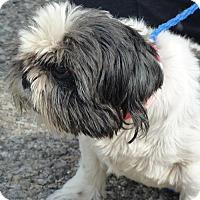 Shih Tzu Mix Dog for adoption in Zanesville, Ohio - 47954 Suki (only one eye) deposit pending
