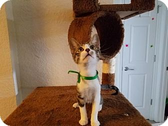 Domestic Shorthair Cat for adoption in Orlando, Florida - Harry