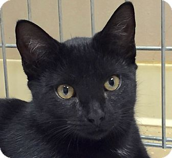 Domestic Shorthair Cat for adoption in Norwalk, Connecticut - Theta