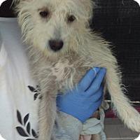 Adopt A Pet :: Coco - Las Vegas, NV