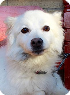 American Eskimo Dog Dog for adoption in Munster, Indiana - Penny