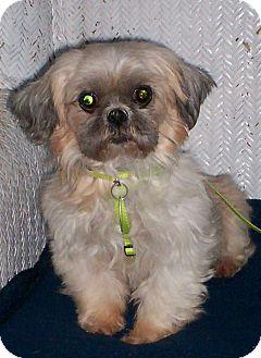 Shih Tzu Dog for adoption in Sullivan, Missouri - Ruthie