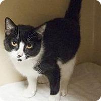 Domestic Shorthair Cat for adoption in Lincolnton, North Carolina - Katrina $20
