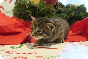 Domestic Shorthair Kitten for adoption in ROSENBERG, Texas - Juniper