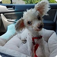 Adopt A Pet :: Buttercup: Little Ballarina PA - Wilmington, MA
