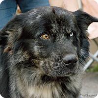 Adopt A Pet :: Bandit - Laingsburg, MI
