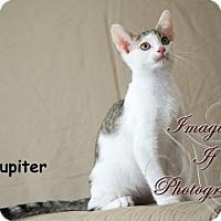 Adopt A Pet :: Jupiter - Oklahoma City, OK