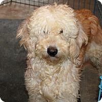 Adopt A Pet :: Vixie - Liberty Center, OH