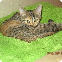 Domestic Shorthair Cat for adoption in San Diego, California - Cha Cha