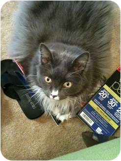 Domestic Longhair Cat for adoption in Lake Charles, Louisiana - Smokey Jo Corbello