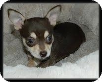 Chihuahua Mix Puppy for adoption in Allentown, Pennsylvania - Peanut