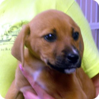 Beagle/Feist Mix Puppy for adoption in baltimore, Maryland - Mollie