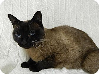 Siamese Cat for adoption in East Hanover, New Jersey - Luna