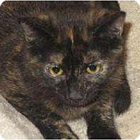 Domestic Shorthair Cat for adoption in Tustin, California - Dynasty