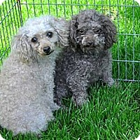 Adopt A Pet :: PEBBLES AND COLA - Elk River, MN