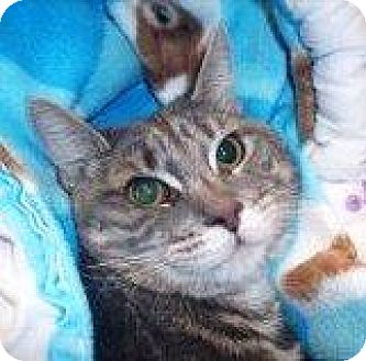 Domestic Shorthair Cat for adoption in Burlington, Ontario - Charlie