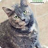 Domestic Shorthair Cat for adoption in West Des Moines, Iowa - Winnie
