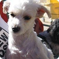 Adopt A Pet :: Spruce - Tucson, AZ