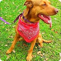 Adopt A Pet :: Macy - Simsbury, CT