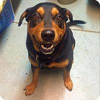 Adopt A Pet :: Tank - Rexford, NY