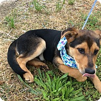Shepherd (Unknown Type) Mix Puppy for adoption in Albany, New York - Moore
