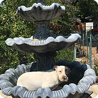 Adopt A Pet :: Indy - Santa Ana, CA